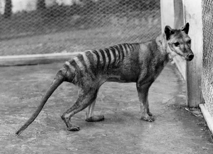 Тасманийский волк невиновен
