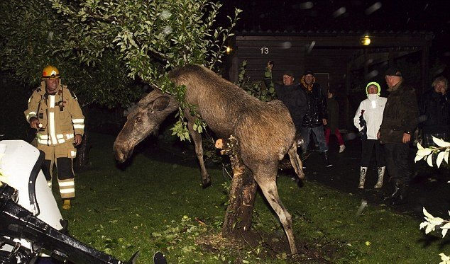 Пьяного лося еле-еле сняли с яблони