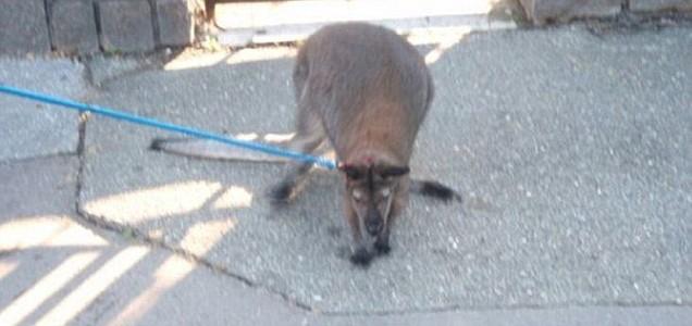 В Праге поймали кенгуру ворующего трусы с веревок