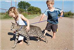 тигровые домашние кошки фото