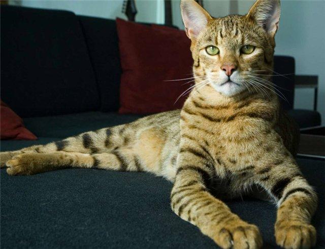 Как назвать кота который похож на рысь