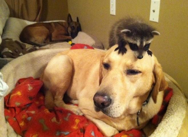 http://goodnewsanimal.ru/Rrr/77/889/44/n-HOSS-THE-DOG-large640.jpg