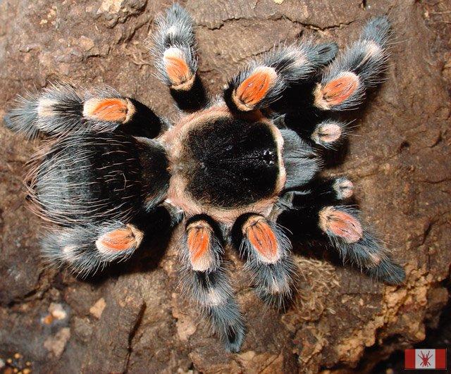 Пауки в домашних условиях: кормление, уход, размножение. Как 21