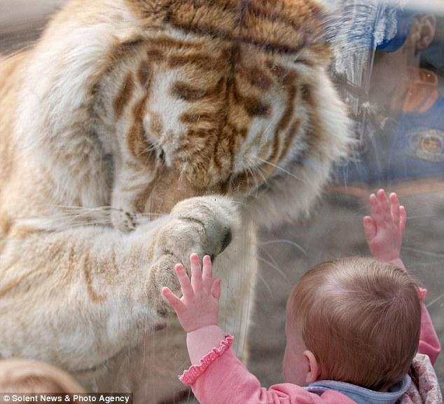 огромный тигр фото