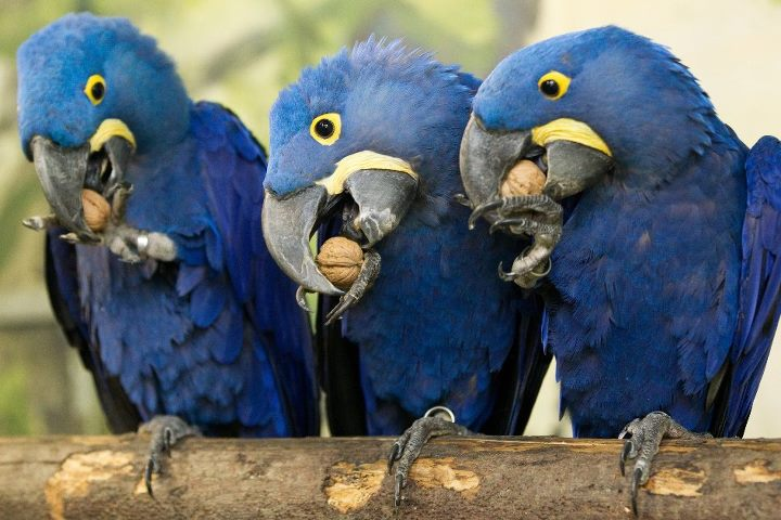 Parrots  All about them from pet parrotscom