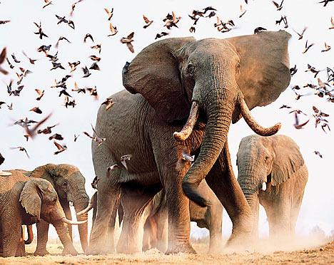Слоны очень похожи на людей