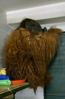 Из Израиля в зоопарк Удмуртии привезли самца орунгутана