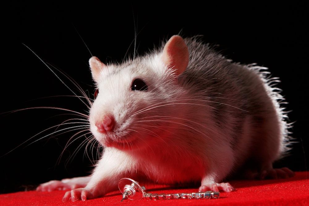 Животные похожие на крыс фото / Интересные факты