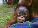 Как стать орангутангом