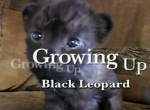 Как стать черным леопардом