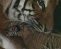 В Зоопарке Флориды родились три тигренка (видео)