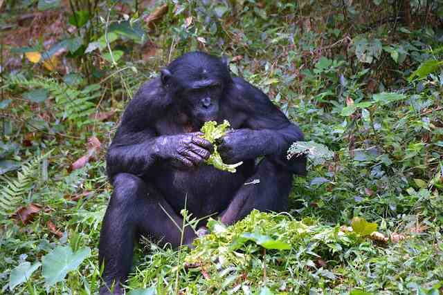 Шимпанзе бонобо любят поговорить о еде.