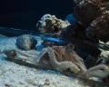 Рождение тысяч осьминогов сняли на видео в аквариуме Калифорнии