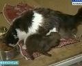 В Новокузнецке кошка выкармливает... волчонка!