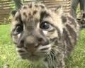 В зоопарке Нэшвила выращивают маленьких дымчатых леопардов