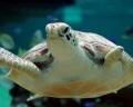 В Сиднее выходили потерявшую передний ласт морскую черепаху
