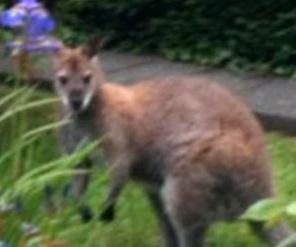 Во двор частного дома в Великобритании забрел кенгуру.