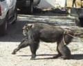 Шимпанзе напугал полицейских (видео)