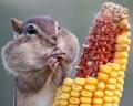 Бурундук объелся кукурузы