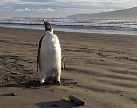 Самый одинокий пингвин