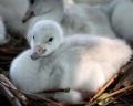 В Зоопарке Кливленда возрождают лебедей - трубачей