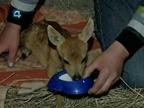 В Свердловской области грибники спасли малыша косули