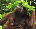 Орангутан с зонтиком из листьев