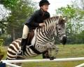 Зак: Зебра, которая думает, что она лошадь