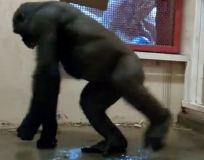 Горилла танцует брейк-данс (фото + видео)