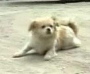 Собака-симулянт из Китая
