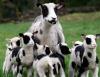Овца из Вашингтона родила семь ягнят (+ видео)