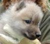 В Зоопарке Брно прочипировали арктических волчат (15 фото)