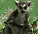 В Пензенском зоопарке родился первый детеныш лемура