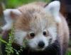 Красные панды - близнецы из Дублина (8 фото)