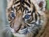 Суматранскому тигренку выбирают имя