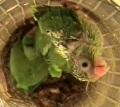 Попугаи дают птенцам имена