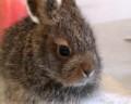 В Первоуральске выкармливают двух диких зайчат