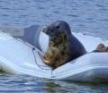 Тюлень забрался на надувную лодку