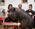70 - килограммовая свинья в качестве домашнего питомца