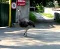 По Киеву гулял страус (+ видео)