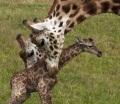 В Сафари-парке жирафа родила малыша перед глазами посетителей