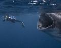 Дайвер чуть не попал в рот китовой акуле