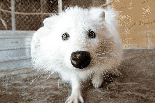В Самару завезли белых енотовидных собак