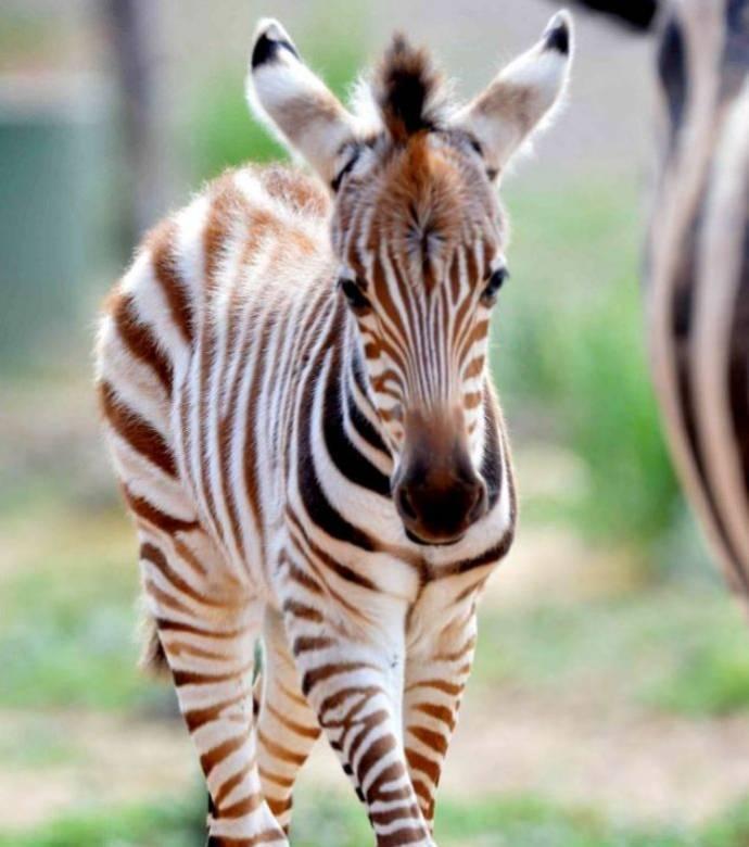 Ingenuity Moonlight Rocking Sleeper Zoo Zoo Zebra