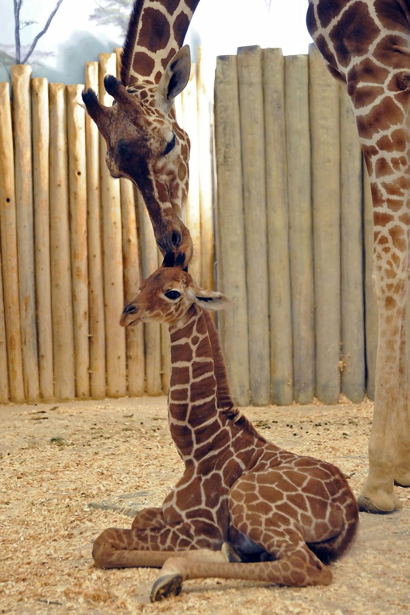 Giraffe videos photos and facts  Giraffa camelopardalis