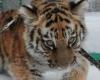 В Барнаульский зоопарк привезли тигрицу