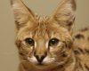В Челябинск привезли модную и дорогую кошку саванну
