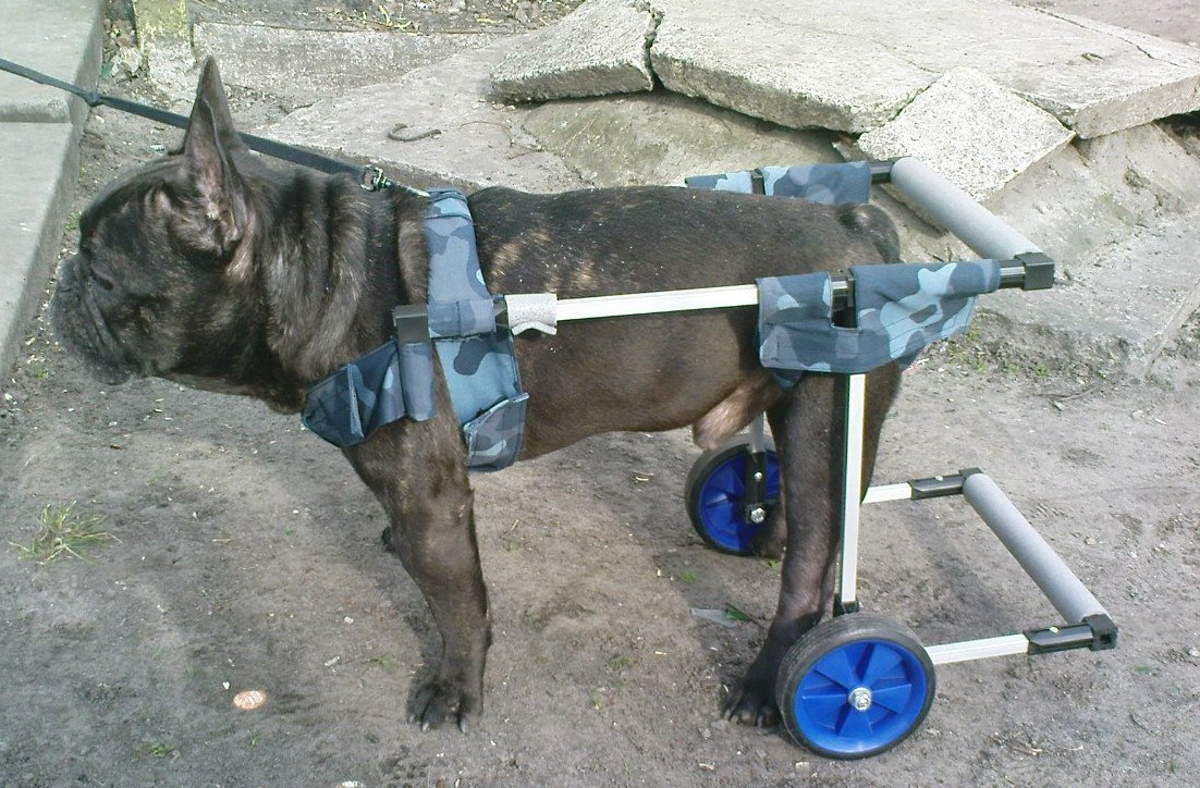 Новости о собаках.  Инвалидные коляски для собак делает новосибирский умелец.