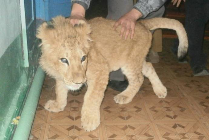 Под Ростовом-на-Дону дети по дороге в школу нашли львенка.