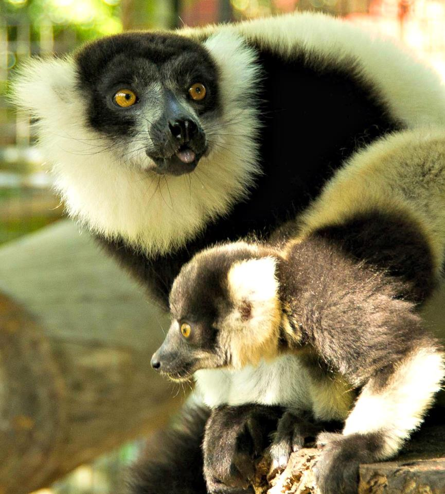 lemurs essay Are lemurs primates essay accepts submissions of original artwork including paintings, drawings and art photography.